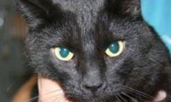 Breed: Domestic Short Hair-black   Age: Adult   Sex: M   Size: L Shadow is a 6 year old black DSH with some white on his chest.   View this pet on Petfinder.com Contact: Shelter of Hope Animal Services | Cobourg, ON