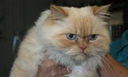 Breed: Himalayan   Age: Adult   Sex: M   Size: L Henry is a 4 year old Himilayan.   View this pet on Petfinder.com Contact: Shelter of Hope Animal Services   Cobourg, ON