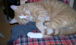 Breed: Tabby - Orange   Age: Adult   Sex: M   Size: L Hank's foster reports that he is sweet, gentle and quiet, but he needs time to get to know you first. He's in a foster home with other cats. Apparently there was a dog in his former home, so he gets