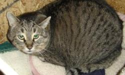 """Breed: Tabby - Brown   Age: Adult   Sex: M   Size: M Xabat (the Rescued) has special needs: he is feral and does not want people in his face. """"I like: the bottomless supply of food, fresh water and the comfy shelter in the foster garage; hunting"""