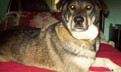 Breed: Alaskan Malamute   Age: Adult   Sex: M   Size: L Waya (signifie loup), il a été abandonné à la fourrière, on ne sait pas pour quelle raison. Il est un bon chien doux et très affectueux. Il aime tout le monde et il est obéissant. Il a un bon