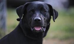 Breed: Black Labrador Retriever   Age: Adult   Sex: M   Size: L Beauty dog very very handsom,,very kind and lovng,,over all great dog check him out he's worth a look. Awsome attitude..   View this pet on Petfinder.com Contact: Cape Breton SPCA   Sydney,