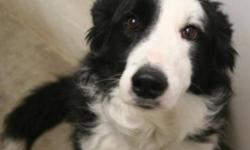 Breed: Border Collie   Age: Adult   Sex: M   Size: L Ronnie is a 7 year old Border Collie Cross. He was surrendered when his family divorced and was unable to keep him. His family said he was Kennel Trained and House Trained. He's good with children and