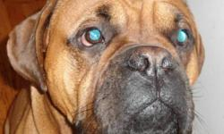 Breed: Boxer Mastiff   Age: Adult   Sex: M   Size: L Diesel was born April 2010 and weighs in at over 80 pounds. He is an all-around great dog who found himself looking for a new home due to a change in family dynamics. Diesel travels well in the car and