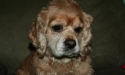 Breed: Cocker Spaniel   Age: Adult   Sex: M   Size: M Antonio made his way into rescue with his buddy Lewis when his previous owners developed severe allergies and were forced to rehome them. Antonio is a heart stealer and everyone who meets him adores