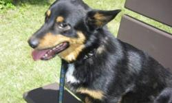 Breed: Corgi Shepherd   Age: Adult   Sex: M   Size: S Hi I'm Max, I'm quite a unique looking dog. I have short corgi legs, a long corgi body and am BIG on personality. I'm about a year old, am 16 inches to the shoulder and weigh 35 lbs. I'm active, fun