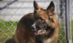 Breed: Shepherd   Age: Adult   Sex: M   Size: L Beautiful shepard collie mix..Friendly and playful looking for a new home..Shepard lovers heres a great dog.   View this pet on Petfinder.com Contact: Cape Breton SPCA   Sydney, NS