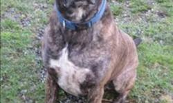 Breed: Mastiff   Age: Adult   Sex: M   Size: M Hello, my name is Duke. I was found as a stray and brought to the Williams Lake SPCA. I may look intimidating, but I'm actually a goofy, playful boy and sometimes think I'm a lap dog. I am looking for an