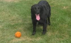 Breed: Flat-coated Retriever Affenpinscher   Age: Adult   Sex: M   Size: L Stewie is a very sweet fellow who has just come back into rescue after 4 years in his adopted home. Stewie was returned through absolutely no fault of his own - he came back as the
