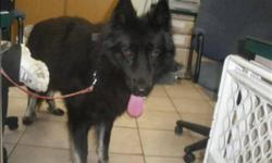 Breed: German Shepherd Dog   Age: Adult   Sex: M   Size: M Primary Color: Black Age: 2yrs 0mths 0wks   View this pet on Petfinder.com Contact: Surrey Branch BC SPCA | Surrey, BC