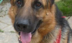 Breed: German Shepherd Dog   Age: Adult   Sex: M   Size: L Max is loving towards all people, big or small, and that goes for other dogs too! A kind and gentle German Shepherd, who is 3 years old. Max is a pleasure to have off leash and his recall is