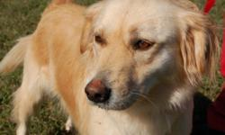 Breed: Golden Retriever Labrador Retriever   Age: Adult   Sex: M   Size: L Ceasar is a very sweet but scared Golden Retriever looking for a quiet home with no cats. Ceasar is approximately 7 years old and loves walks and enjoy a good swim. This sweet dog