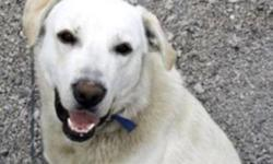 Breed: Great Pyrenees Husky   Age: Adult   Sex: M   Size: XL Size: 90lbs APPROX AGE: 2 1/2 years old History: Rescued homeless stray with nowhere to go and no one to love, and nothing to eat, on a very barren and lonely NWT Reservation. TEMPERAMENT: Clyde