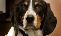 Breed: Hound   Age: Adult   Sex: M   Size: M Meet Huck, a charming hound mix that is looking for a special home to call his own.     Huck has come a long way since his initial intake to HART foster care. He was just over a year old when removed from a