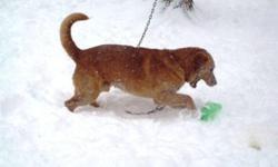 Breed: Labrador Retriever   Age: Adult   Sex: M   Size: L Buddy a été maltraité et abandonné à la fourrière. Ã� cause de son passé difficile, il est à la recherche d'une famille expérimentée qui pourra lui apporter de la douceur et beaucoup d'amour