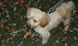Breed: Lhasa Apso Poodle   Age: Adult   Sex: M   Size: S Yes Yes Yes Yes   View this pet on Petfinder.com Contact: Kiko Dog Rescue and Adoptions | Rigaud, QC