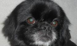 Breed: Pekingese   Age: Adult   Sex: M   Size: S Orson's background is unknown. He was discovered in a raccoon trap. We think that it was a great day for him, since this is what brought him to the pound and then to the rescue. His black coat had to