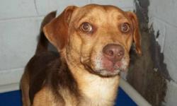 Breed: Beagle   Age: Adult   Sex: M   Size: S PEEWEE IS IN A HIGH KILL SHELTER AND FAR TOO NICE OF A DOG TO NOT HAVE A HOME. I CANNOT BRING HIM HERE TO SAFETY UNTIL I HAVE A FOSTER OR ADOPTIVE HOME . Pee Wee is a beautiful 2 y.o. male Warfield Red PB