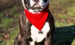 Breed: Pit Bull Terrier   Age: Adult   Sex: M   Size: L Volunteer Notes: Nov 29/11: Tego is a gorgeous, stocky brindle boy who is a joy to walk. He is very gentle and takes treats nicely. Very well mannered, he waits for the Halti to be put on and waits