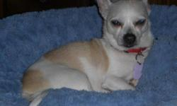 Breed: Chihuahua   Age: Adult   Sex: M   Size: S Riley is the softest Chihuahua you will ever find. He is a 9-year-old Chihuahua who found himself looking for a new home when his senior owner moved into a residence. He was always an inside dog and was