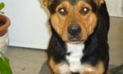 Breed: Rottweiler Bernese Mountain Dog   Age: Adult   Sex: M   Size: L Stray from Mount Brydges and brought to shelter Dec.19th, 2011     Ranger is a very young rottie mix maybe less than a year old. He is very sociable and easy going. He has beautiful