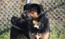 Breed: Rottweiler Shepherd   Age: Adult   Sex: M   Size: L Two words...Big Goof lol this big guy is an awsome dog..hes been at the spca for a while now and is great with any other dogs, loves everyone he meets..He is one of those big goofy male dogs that