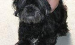 Breed: Shih Tzu   Age: Adult   Sex: M   Size: S Cody is one and half year old approximately and is a black curly haired Shih Tzu. Neutering Pending.   View this pet on Petfinder.com Contact: Shelter of Hope Animal Services   Cobourg, ON