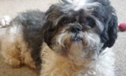 Breed: Shih Tzu   Age: Adult   Sex: M   Size: S Mowgli is new to rescue, coming to us from the local city pound. This little guy can take his time warming up to new people and likes to do so at his own pace. He tends to grumble a bit when new people pet