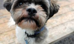 Breed: Shih Tzu   Age: Adult   Sex: M   Size: S Teddy: 4 year old Shih Tzu/Lhasa Apso mix, male I am a sweet little man who loves attention and to be in the company of people! I know my basic obedience commands, I walk great on lead, and I love to be