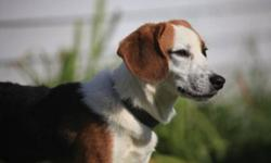 Breed: Beagle   Age: Adult   Sex: M   Size: M Great beagle here! Tones of fun in this fella, super happy and friendly..Good dog for anyone, good with kids..lots of personality..Don't miss out!   View this pet on Petfinder.com Contact: Cape Breton SPCA  