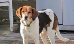 Breed: Treeing Walker Coonhound Hound   Age: Adult   Sex: M   Size: M Please contact Jean (houndrescue@yahoo.ca) for more information about this pet.     FOSTER / ADOPTER NEEDED!     I am not just another throw-away hunting dog! This handsome fellow was