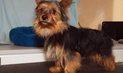 MAKE ME AN OFFER ! NO LONGER BREEDING YORKIES SO THIS LITTLE BOY IS LOOKING FOR HIS NEW HOME. HE IS VERY BLACK AND RED/TAN AND IS 7LBS. HAS SIRED SOME BEAUTIFUL PUPS. GOOD NATURED AND VERY PLAYFUL