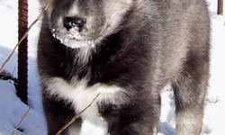 Needled de-wormed Vet Health Certified. Both parents are on site and are loving farm rasied family pets. The mother is shy but very gentle she is of medium build . The mother is 2 years old and this is her first litter she had 5 big healthy pups, We have
