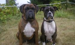 Adorable AKC (American Kennel Club), Boxer pups. Males and females.Superior blood line. Highly intelligent and alert. First time offered for sale on Oct. 20 (8 weeks old). Beautiful flashy fawn, black mask female pick of the litter $800. Flashy brindles