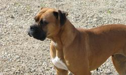 We are looking for a new home for our registered female fawn Boxer. She is a very affectionate playful girl she good with children. She would suite a family with a male dog or a younger female dog she is not good with cats. If you would like more