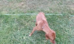 I am selling my 3 year old vizsla female. Charlie has been raised around children and other pets. After having a baby I just don't have the time she deserves anymore.