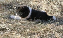 ONLY ONE LEFT.   A BEAUTIFUL PUREBRED  BLACK/WHITE FEMALE AKITA PUPPY.  SHE IS VERY PLAYFUL & FRIENDLY.  SHE IS 4 WEEKS OLD IN THE PICTURE & WAS BORN ON NOV 30/11. SHE WILL HAVE HER FIRST PUPPY SHOTS & WILL ALSO BE DEWORMED.  SHE WILL BE READY TO GO TO