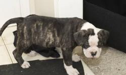 Alapaha Blue Blood Bulldog puppies available. Purebred. RARE breed. 10 born in the litter. 5 males and 5 females. 6 still available Leaves with shots/deworming, ACA registered papers, health guarantee and official pedigree Both Parents owned by breeder,
