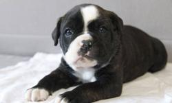 Alapaha Blue Blood Bulldog puppies 8 available Great family dogs.  Excellent with children and suitable for both house/apartment living since they're quite inactive indoors. Puppies are raised with both parents, other dogs and children. Any questions or