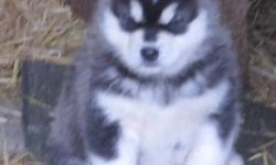 CKC Reg Gaint Alaskan Malamutes. Our pups leave home vet checked have their first shots and we have a deworming program that starts at 10 days old.  Our pups are happy and healthy have been raised with children and lots of love. We have been breeding