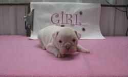 My pups are 3/4 english x 1/4 french Bulldog, with this combo u get smaller, more healthier bulldog. More active than your average english bulldog, but will have the looks of the english, if your looking for more healthier bred , this is the way to go ,