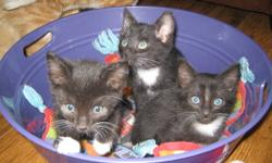 """Don't let these """"formal"""" gentlemen fool you. These scroundrels are all part of a cat burglar ring.    They have white bibs, tummies and 4 white paws. You have to turn them over to identify who is who.   Inky Dinky (the smallest) has been caught so many"""