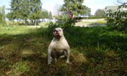 I have a beautiful 18 month old alpha blue blood bulldog that is expecting her first litter around the end of january. The mother is around 63 pounds very active great with other dogs, cats and children very playful loves to run and has an amazing