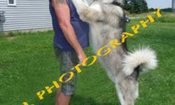 Our amazingly large giant Alaskan Malamutes have produced  another impressive looking litter(s). Being raised with lots of socialization and other pets. They love people, good with kids They will grow larger then the standard size Malamute or Husky.
