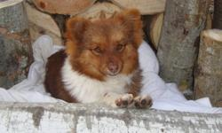We have a purebred Pomeranian male for sale, the last of the litter. He is dewormed, had his first shot and is vet checked. Very good with kids and other animals!   If you are interested, please contact us by email or phone.