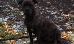 American bandog pups for sale wonderful companion/family dog for experienced dog owners only They are quite trainable and easy to maintain. It is mainly good natured, fond of children in general, extremely devoted to its owner and eager to work.