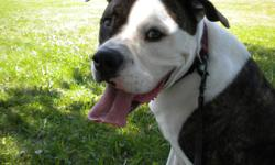 Hiro is a wonderful 2 1/2 year old neutered American Bulldog.  His owner recently moved into a smaller apartment and Hiro needs to find a new, experienced owner with a larger home and room to run.   He loves long walks, running at full speed and having