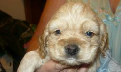 Cocker Spaniel Tan, or Black pup's Tail dock,  firist shot's eating and drinking love playing with other animals welcome to visit email