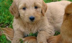 7 GoldenDoodle Pups Available - 2 Girls and 5 Boys.   Sunday Update: 4 Males Available.   Golden Doodle Puppies are becoming the #1 Selling Family Pet because of their low to no shedding, allergy friendly, wavy coats.    Our Doodles are First Generation -