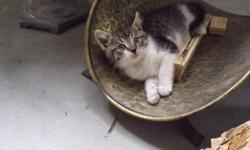 Great kitten almost ready for permanent home! Litter trained, eating dry food, cute as a button and full of energy. Needs loving home that he can grow up in. Small adoption fee will include neuter, flea prevention and deworm.